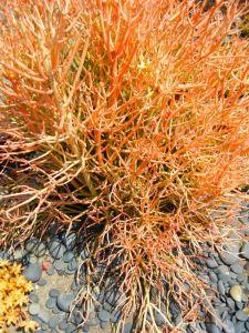 Euphorbia tirucalli 'Stick on Fire'