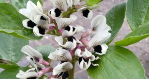 Vicia faba, or Broad Bean Plant