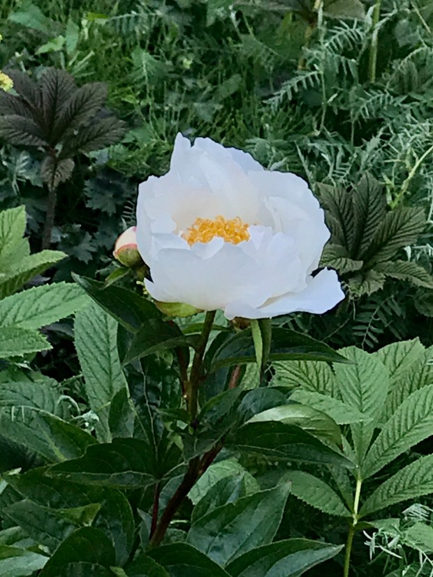 Paeonia Lactiflora White