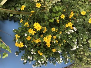 Bidens ferulifolia 'Golden Goddess'