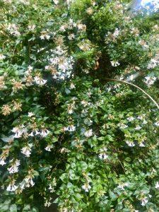 Linnaea x grandiflora