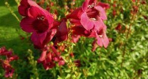Penstemon 'Rich Ruby'