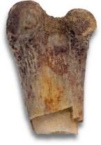 Unidentified femur