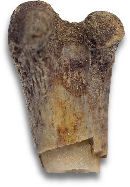 Unidentified femur