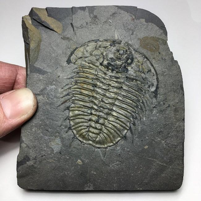 Huge Burgess Shale trilobite