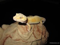 Sold - Giant Tremper Sunglow Female - Proven (sunglow080410F)