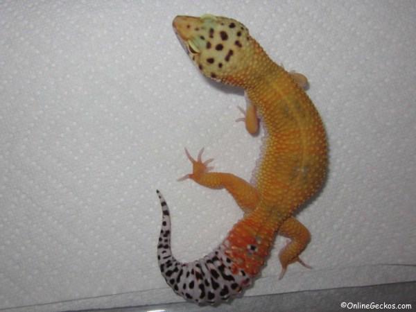 Super Hypo Tangerine Carrot Tail Leopard Geckos