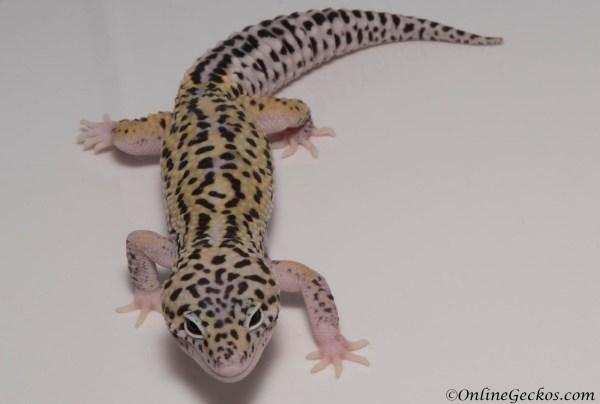 Mack Snow Leopard Gecko for Sale