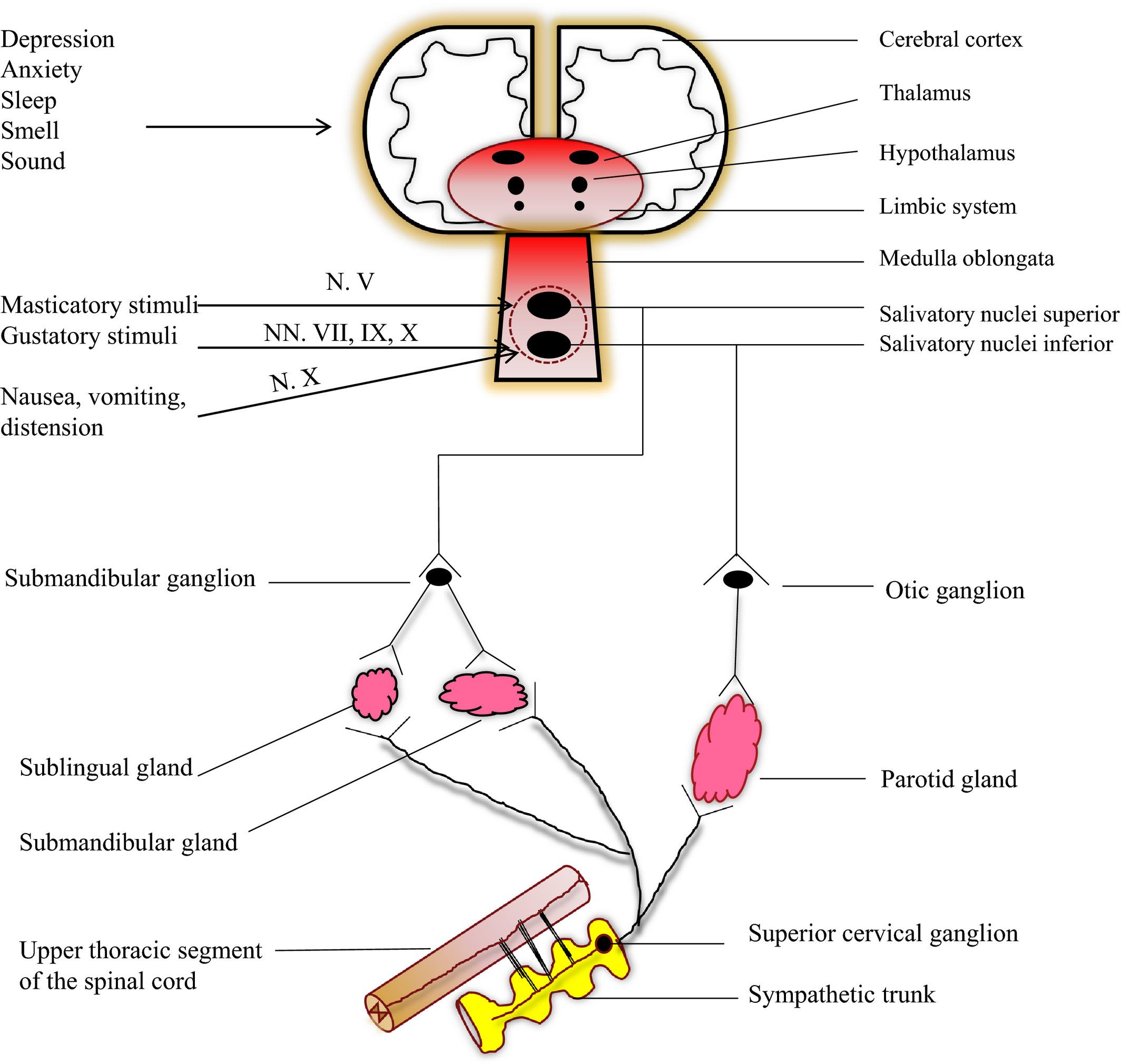 Salivary secretion in health and disease - Pedersen - 2018 ...