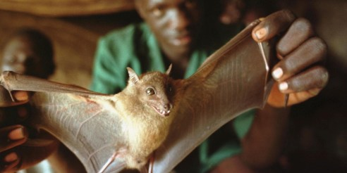 383490 19: A Ugandan man displays a bat he captured for food December 1, 2000 in a cave in Guru Guru, Uganda. Bats are being studied as one possible carrier of the Ebola virus. (Photo by Tyler Hicks/Getty Images)