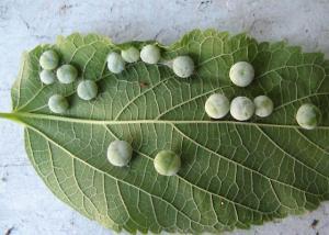 Hackberry galls