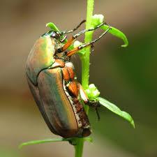 Control Green June Bugs
