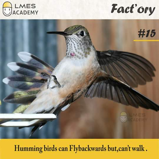 #15 Humming birds can fly backwards but, can't walk