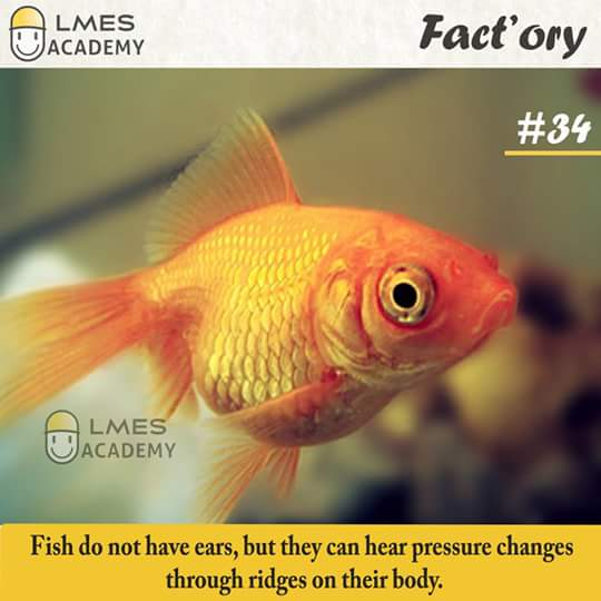 #34 Fish do not have ears, but they can hear pressure changes through ridges on their body.