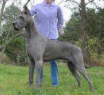 Iata care sunt cele mai mari rase de caini