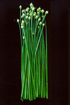Garlic Chives  Nutrition Facts Health Benefits Uses and Pictures