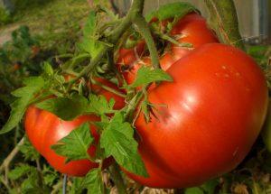 Beefsteak Tomato Health Benefits Nutrition Recipes ...