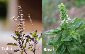 Different between Holy Basil and Italian Basil plant in Hindi
