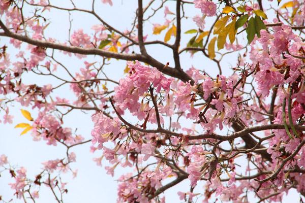 Penang Tabebuia Rosea Blossom