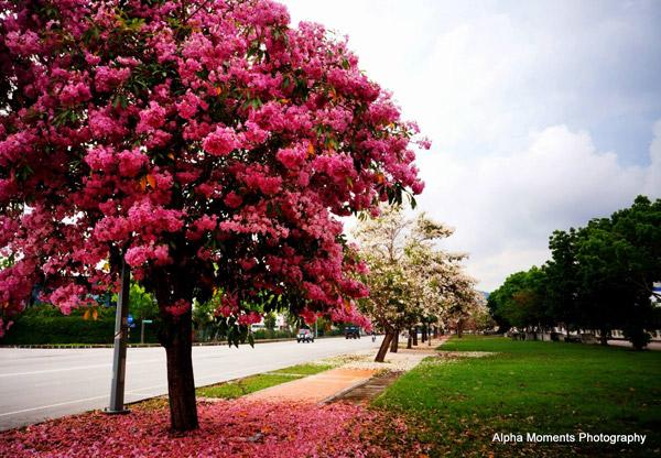 Penang Pink Tecoma Blossom