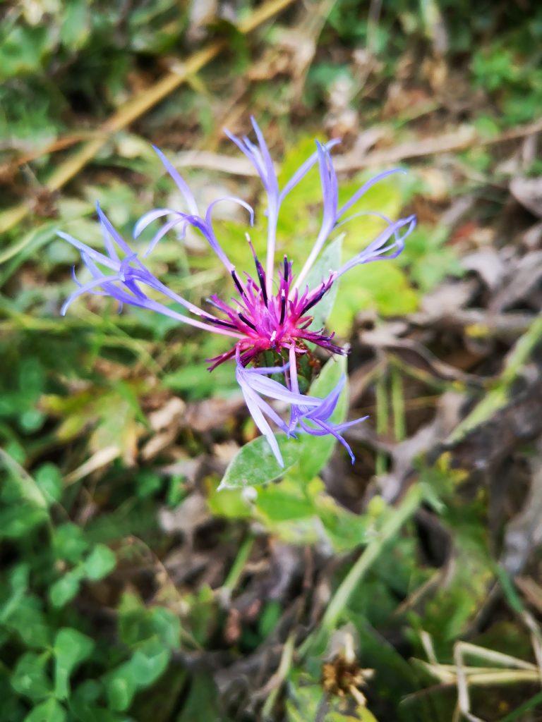 Fleur de l'Ubaye