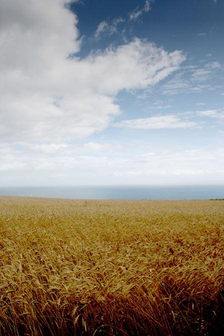 Graanveld op Sark