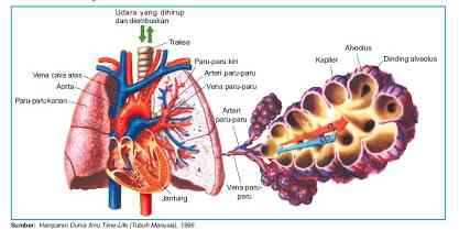 Struktur Alveolus