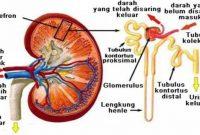 fungsi nefron