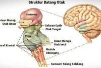 fungsi otak tengah