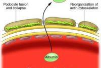 fungsi albumin