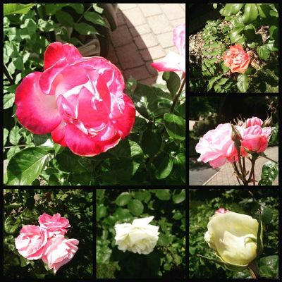 #PhotoGrid more roses in our garden. Glorious display at moment.