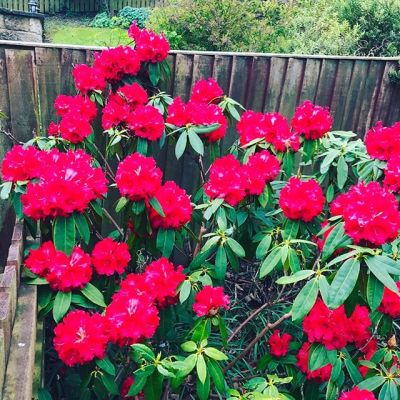The red rhododendron is in full flower and looking gorgeous...