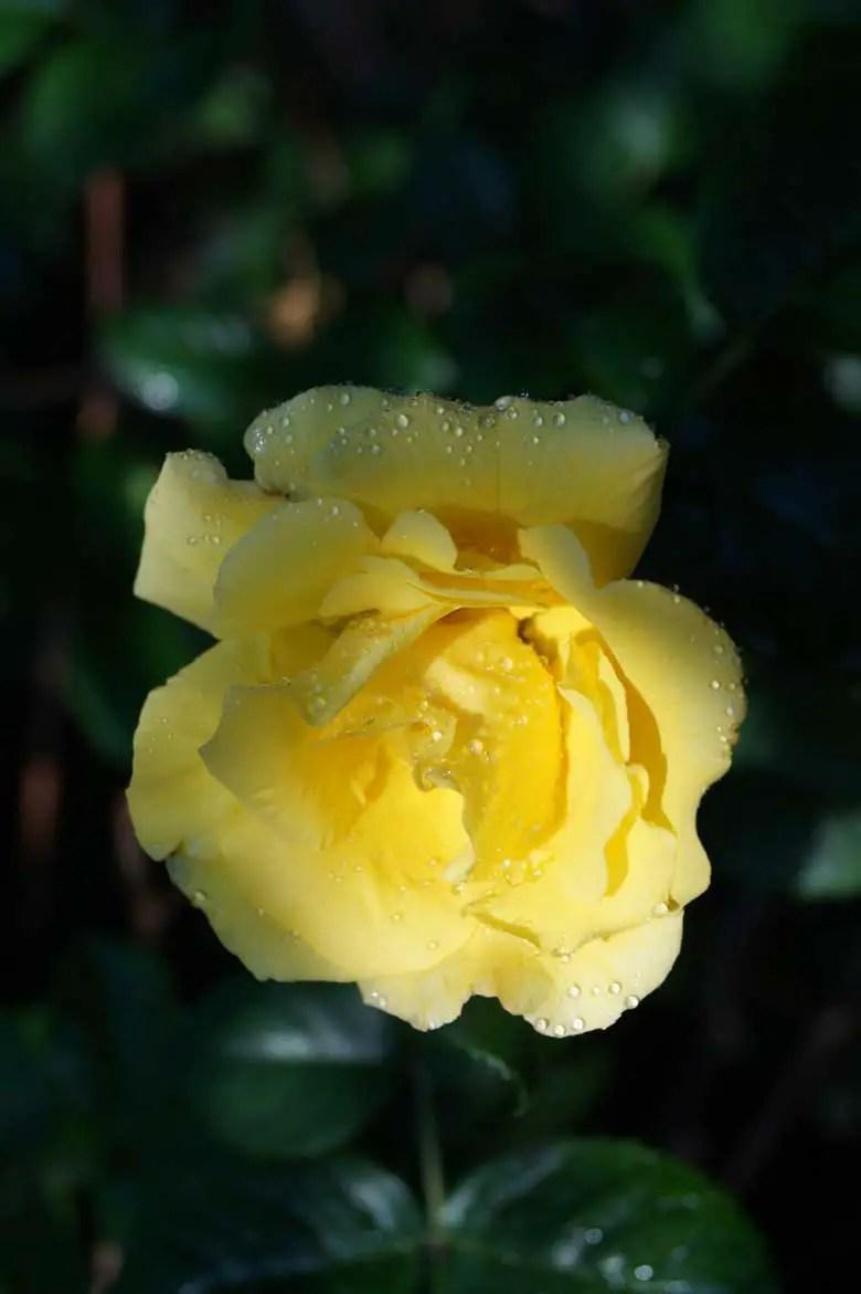 premium good morning flower