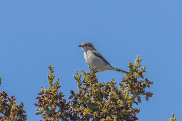 Northern Shrike - Winter birding in Ontario