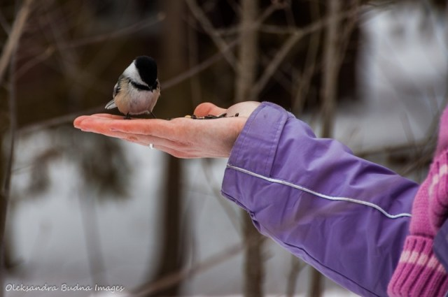 Feeding chickadees at Wye Marsh Conservation Area