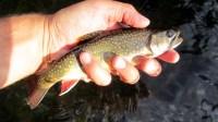 Au Sable River Brook Trout