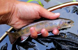 A Credit River brook trout.