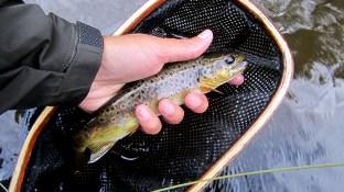 Au Sable river brown trout.