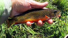 A nice, plump small stream brookie.