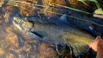 Credit River Chinook Salmon
