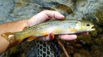 A slender Credit River brown.