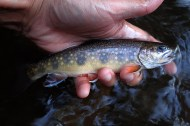 Small stream brook trout.