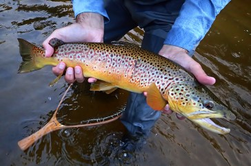 """A stunning 22"""" brown trout."""