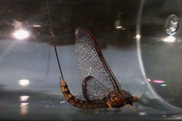 Hexagenia from the Upper Credit River in September.