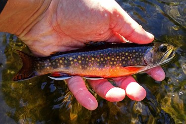 Another small colourful brookie.