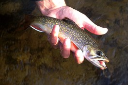A nice small stream brook trout taken during a Hendrickson hatch.