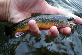 An average colorful small stream brookie.