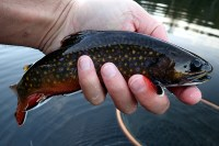 Late fall stillwater brook trout.