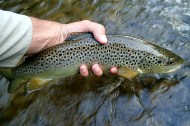 A beautiful wild Credit River Brown caught on a Green Drake spinner