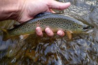 """A 12"""" Credit River Brown caught on a Green Drake"""
